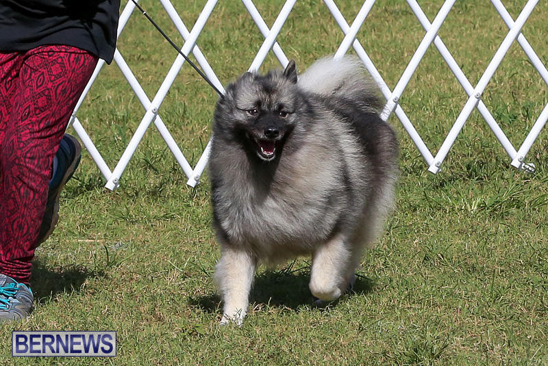 Bermuda-Kennel-Club-Dog-Show-October-23-2016-13