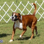 Bermuda Kennel Club Dog Show, October 23 2016-130