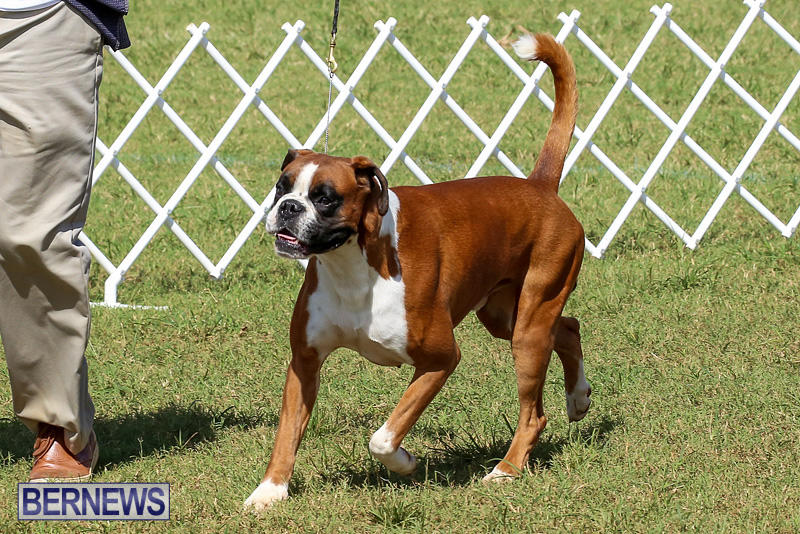 Bermuda-Kennel-Club-Dog-Show-October-23-2016-130