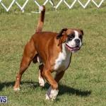 Bermuda Kennel Club Dog Show, October 23 2016-132