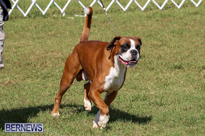 Bermuda-Kennel-Club-Dog-Show-October-23-2016-132