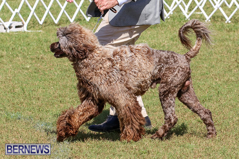 Bermuda-Kennel-Club-Dog-Show-October-23-2016-141