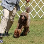 Bermuda Kennel Club Dog Show, October 23 2016-142