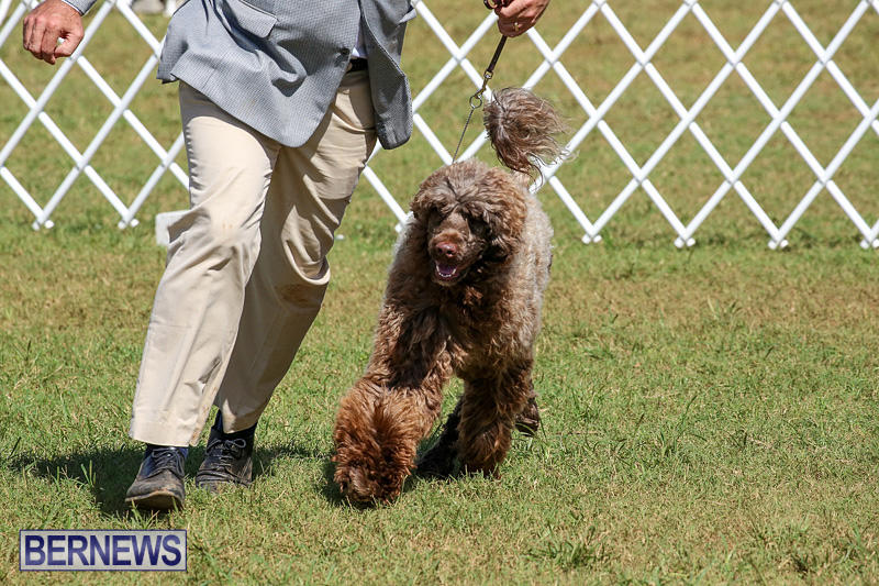 Bermuda-Kennel-Club-Dog-Show-October-23-2016-142