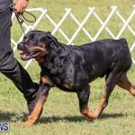 Bermuda Kennel Club Dog Show, October 23 2016-144