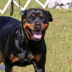 Bermuda Kennel Club Dog Show, October 23 2016-147