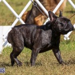 Bermuda Kennel Club Dog Show, October 23 2016-157