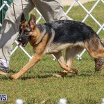 Bermuda Kennel Club Dog Show, October 23 2016-158