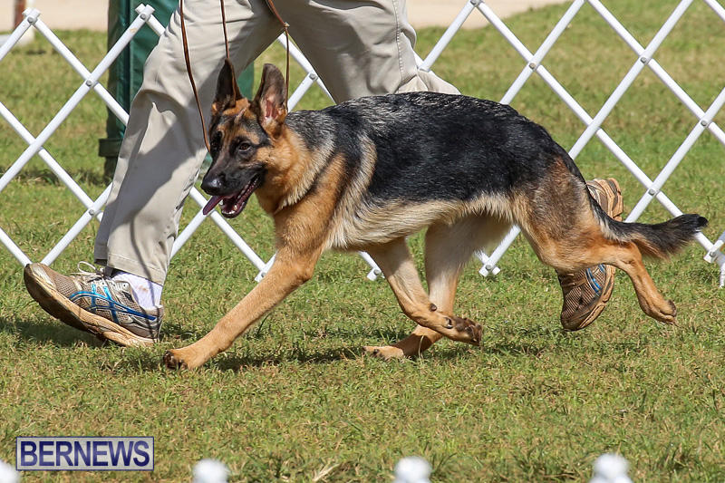 Bermuda-Kennel-Club-Dog-Show-October-23-2016-158