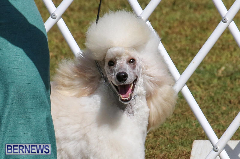 Bermuda-Kennel-Club-Dog-Show-October-23-2016-163