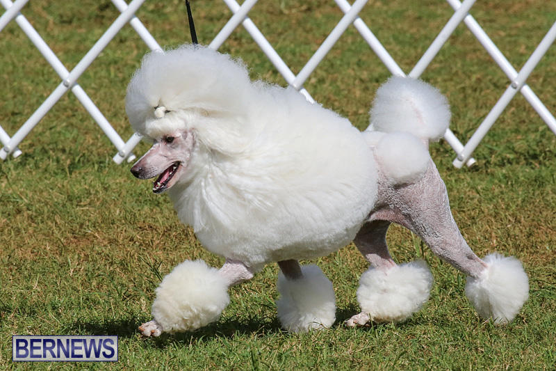 Bermuda-Kennel-Club-Dog-Show-October-23-2016-165