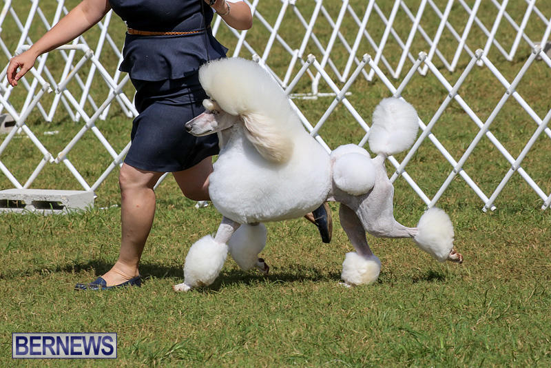 Bermuda-Kennel-Club-Dog-Show-October-23-2016-174