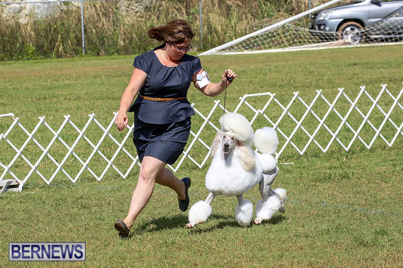 Bermuda-Kennel-Club-Dog-Show-October-23-2016-176