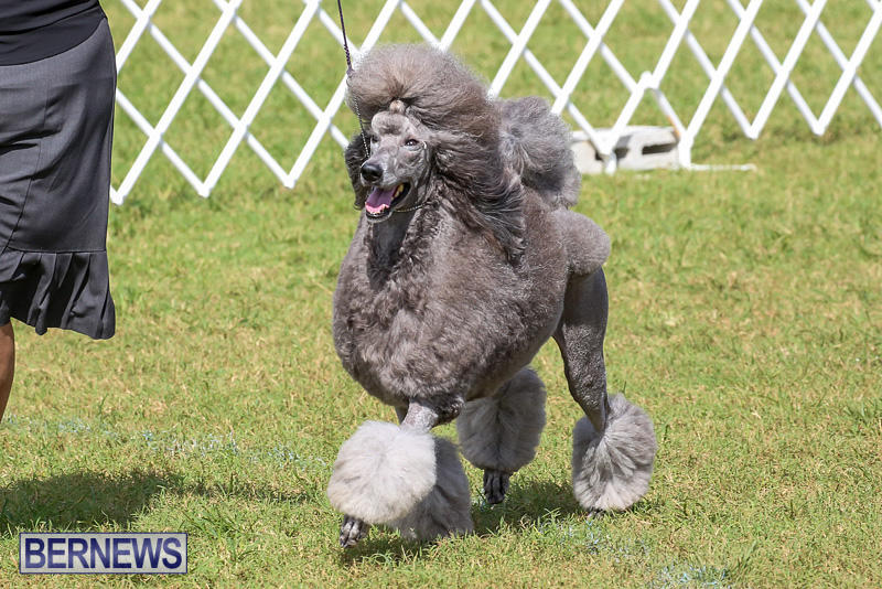Bermuda-Kennel-Club-Dog-Show-October-23-2016-179