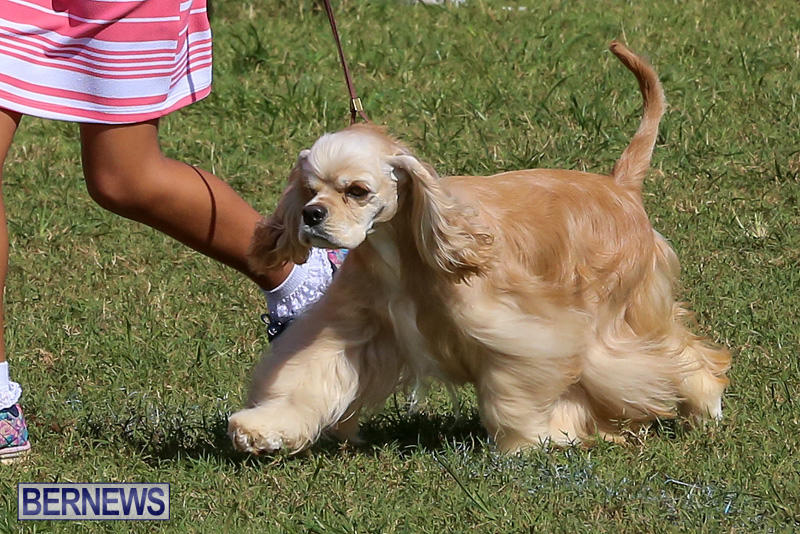 Bermuda-Kennel-Club-Dog-Show-October-23-2016-18