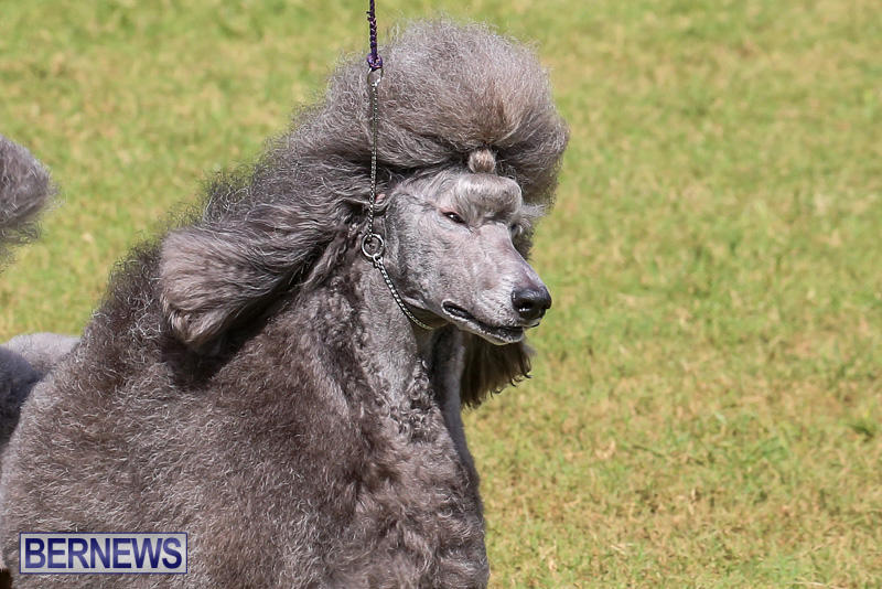 Bermuda-Kennel-Club-Dog-Show-October-23-2016-181