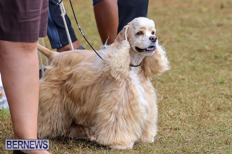 Bermuda-Kennel-Club-Dog-Show-October-23-2016-184
