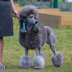 Bermuda Kennel Club Dog Show, October 23 2016-189