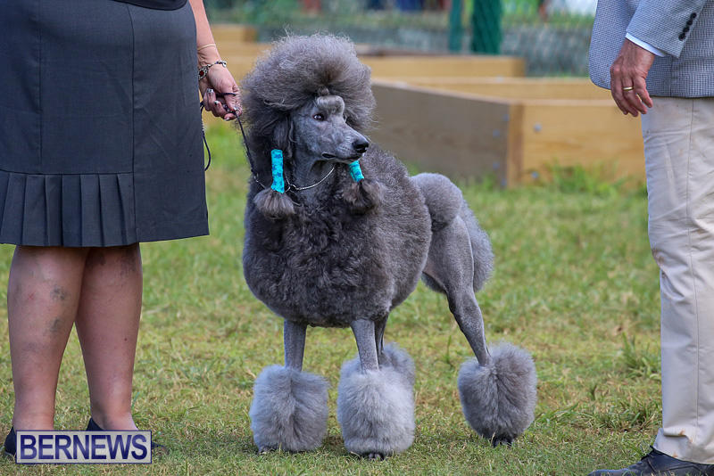 Bermuda-Kennel-Club-Dog-Show-October-23-2016-189