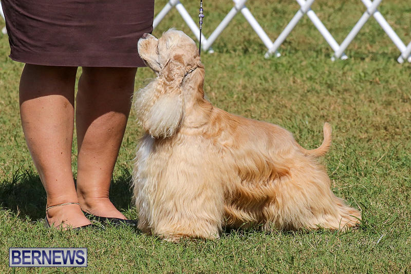 Bermuda-Kennel-Club-Dog-Show-October-23-2016-202