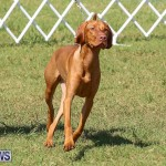 Bermuda Kennel Club Dog Show, October 23 2016-206