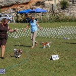 Bermuda Kennel Club Dog Show, October 23 2016-29