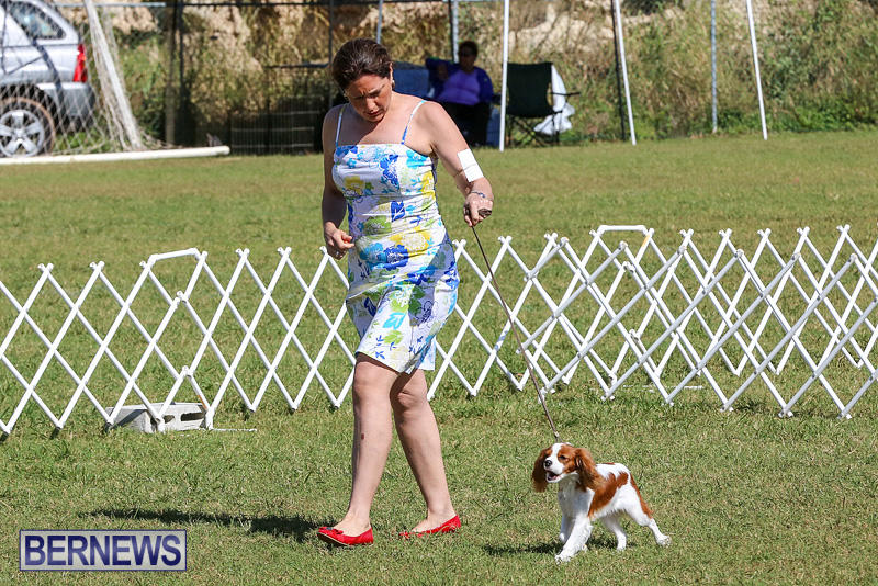 Bermuda-Kennel-Club-Dog-Show-October-23-2016-36
