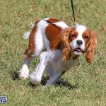 Bermuda Kennel Club Dog Show, October 23 2016-42