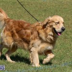 Bermuda Kennel Club Dog Show, October 23 2016-52