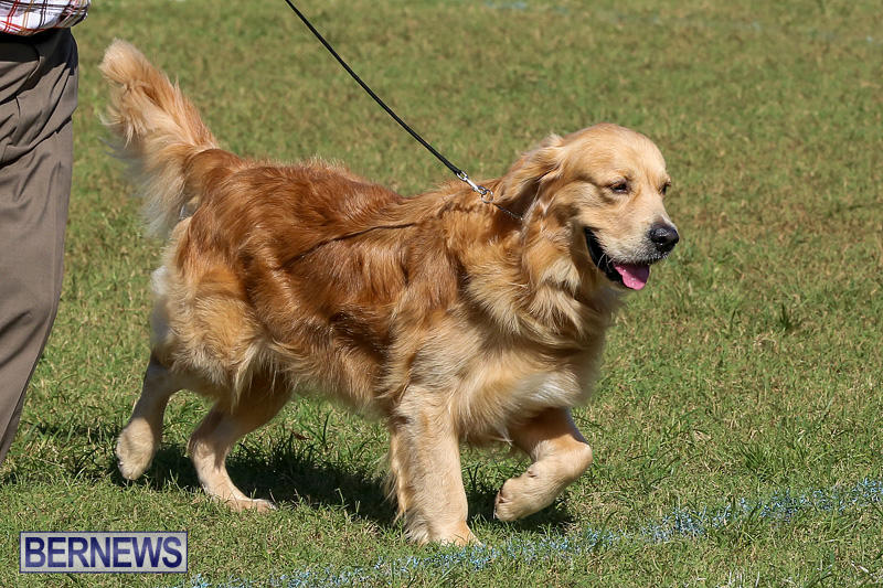 Bermuda-Kennel-Club-Dog-Show-October-23-2016-52