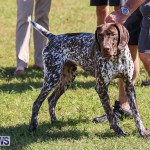 Bermuda Kennel Club Dog Show, October 23 2016-53