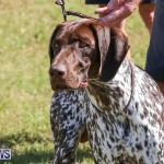 Bermuda Kennel Club Dog Show, October 23 2016-54