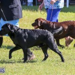 Bermuda Kennel Club Dog Show, October 23 2016-57