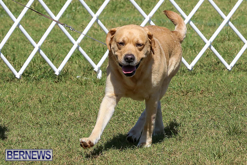 Bermuda-Kennel-Club-Dog-Show-October-23-2016-69