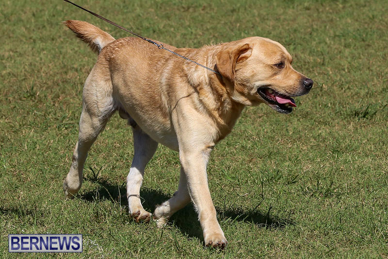 Bermuda-Kennel-Club-Dog-Show-October-23-2016-70