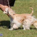 Bermuda Kennel Club Dog Show, October 23 2016-74