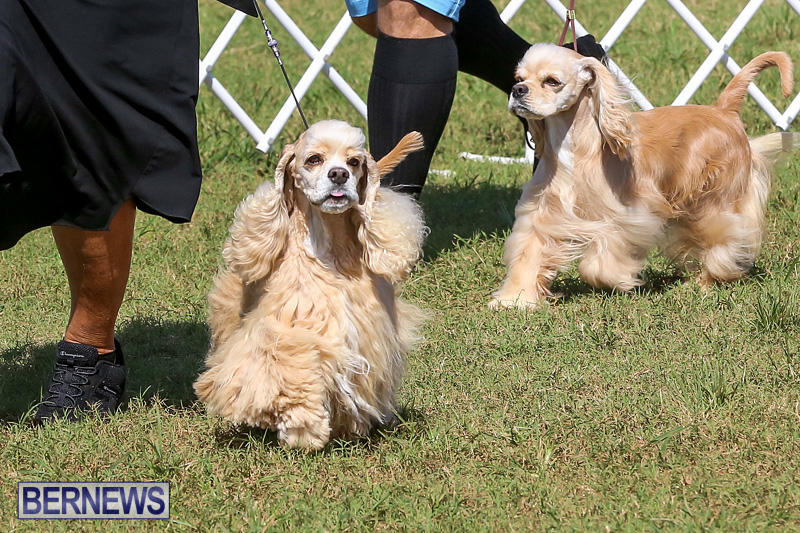 Bermuda-Kennel-Club-Dog-Show-October-23-2016-78