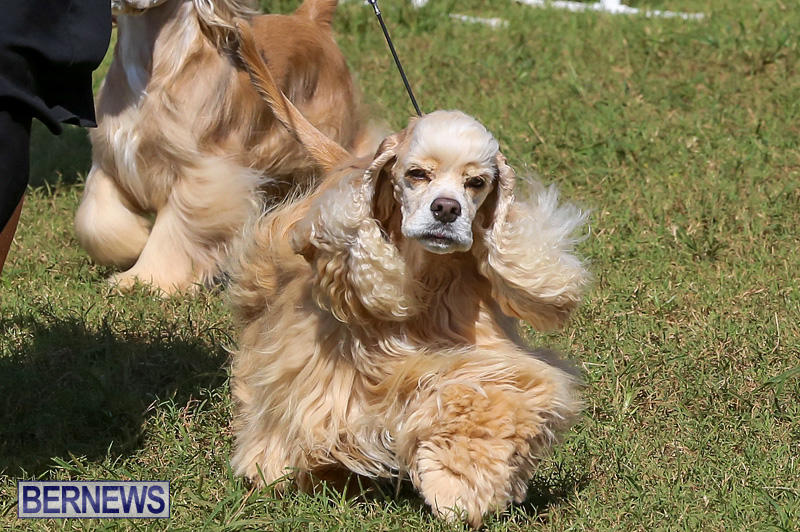 Bermuda-Kennel-Club-Dog-Show-October-23-2016-79