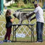 Bermuda Kennel Club Dog Show, October 23 2016-8