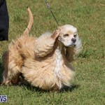 Bermuda Kennel Club Dog Show, October 23 2016-80