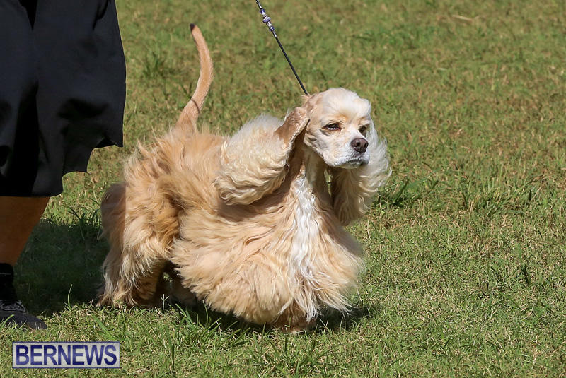 Bermuda-Kennel-Club-Dog-Show-October-23-2016-80