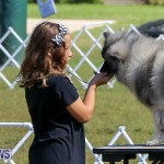 Bermuda Kennel Club Dog Show, October 23 2016-9