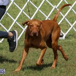 Bermuda Kennel Club Dog Show, October 23 2016-91