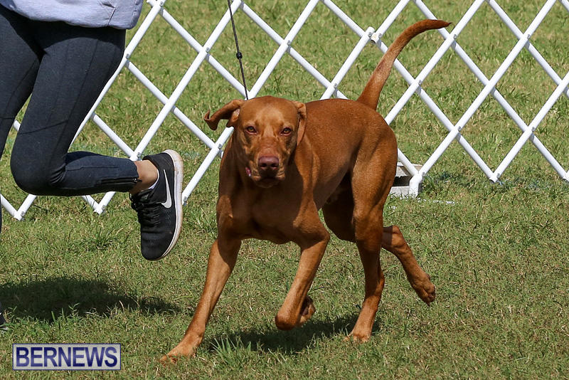 Bermuda-Kennel-Club-Dog-Show-October-23-2016-91