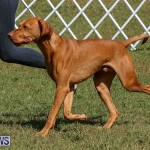 Bermuda Kennel Club Dog Show, October 23 2016-95
