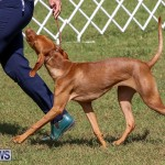 Bermuda Kennel Club Dog Show, October 23 2016-99