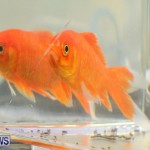 Bermuda Fry-Angle Aquarium Society Annual Tropical Fish Show, November 5 2016-63