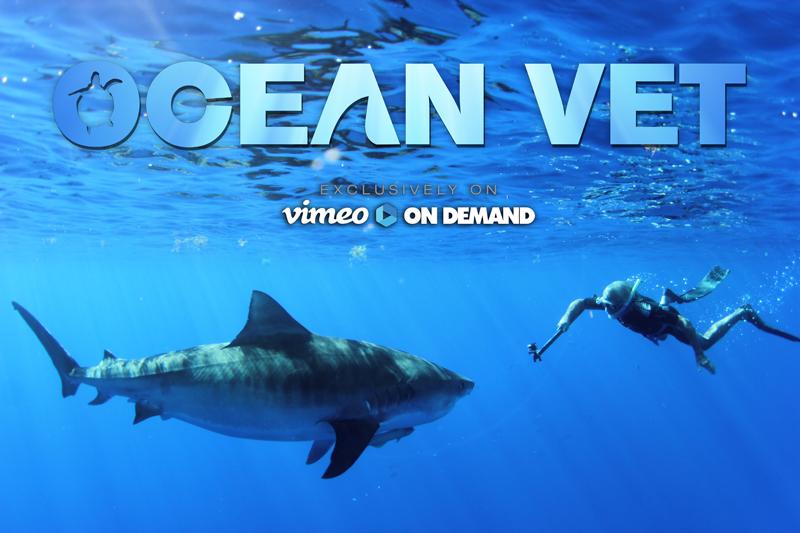Ocean Vet Tiger shark Bermuda Dec 13 2016
