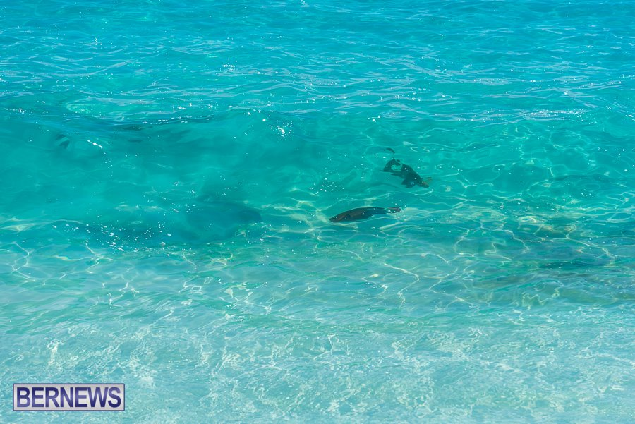 425 The beautifully clear waters of Bermuda allow you to see fish swimming through waves