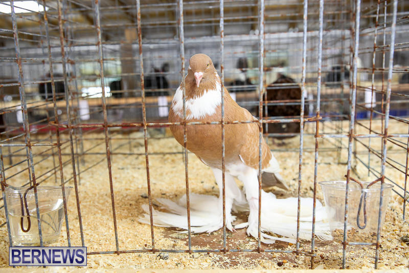 Agricultural-Show-Bermuda-April-19-2017-146